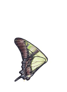 NovelEurytides Harmodius' butterfly wing silk pocket square